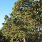 Бял бор, борика, червен бор, белок - Pinus silvestris L.