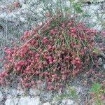 Ефедра - Ephedra distachya L. [E. vulgaris (L.) Rich]