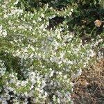 Балканска чубрица, планинска чубрица, овчарска чубрица - Satureja montana L.