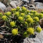 Бяло подъбиче, бяла горчивка, бяла трева, мясълив бурен - Teucrium polium L.