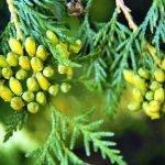 Божо дърво, западна туйя, мазия - Thuja occidentalis L.