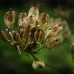 Анасон - Pimpinella anisum L.