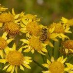 Арника - Arnica montana L.