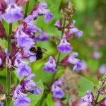 Градински чай, какула, лечебен конски босилек - Salvia officinalis L.