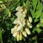 Бяла акация, салкъм - Robinia pseudoacacia L.
