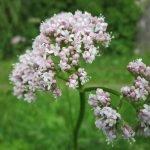 Дилянка, валериана, котешка трева, коча билка, навалник - Valeriana officinalis L.