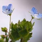 Великденче лечебно, гергьовденче, превара - Veronica officinalis