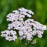 Бял равнец, гущерка, пачи пера, посечена трева, хайдушка трева - Achillea millefolium L.