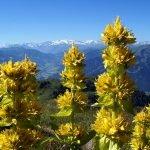 Жълта тинтява, горчивка, горчив корен, жълта линцура - Gentiana lutea L.