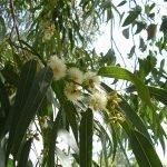 Евкалипт кълбестоплоден - Eucalyptus globulus Labill.