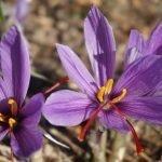 Шафран, качунка, минзухар - Crocus sativus L.